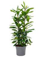 Ficus Cyathistipula 120 cm (Afrikaanse Vijgenboom)