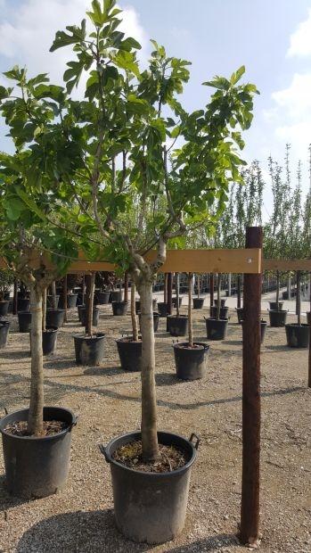 Halfstam dikke vijgenboom Ficus carica