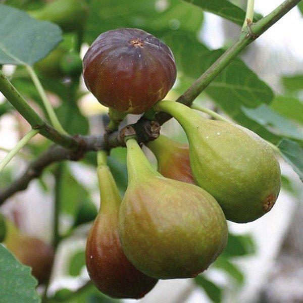 Vijgenboom - Ficus carica 'Brown Turkey (2L) - 3 stuks