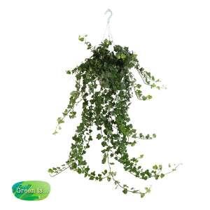 Hedera helix - klimop - hangplant bestellen of bezorgen