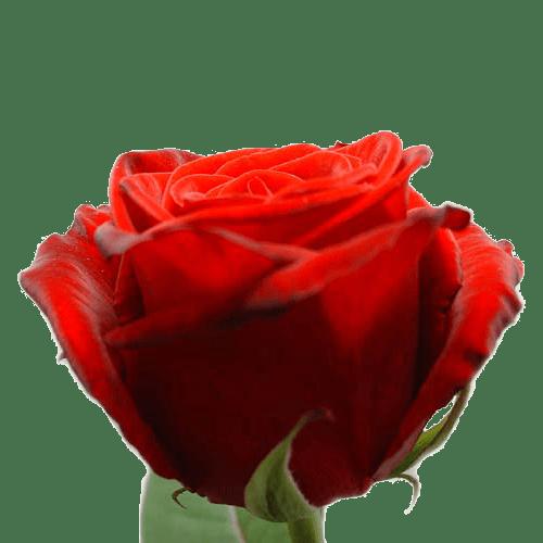 10 of meer lange rode rozen bestellen of bezorgen online