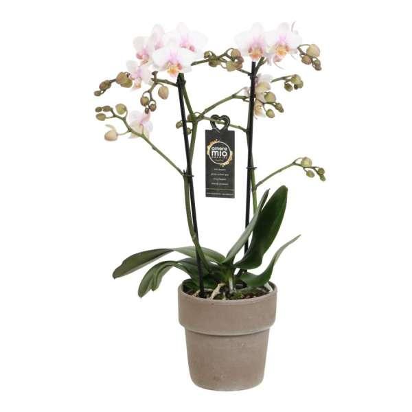 Phalaenopsis Amore Mio Amaglad Soft in Taupe Terracotta pot bestellen of bezorgen