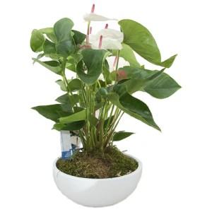 Prachtige witte Anthurium in schaal bestellen of bezorgen online