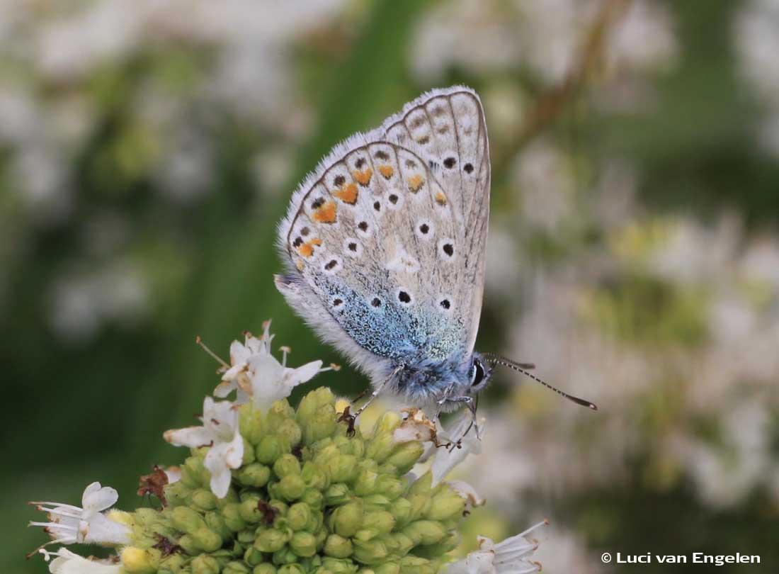 Icarusblauwtje en Origanum vulgare