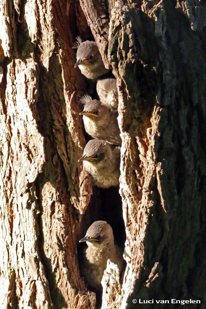 Spreeuwenfamilie in boomholte