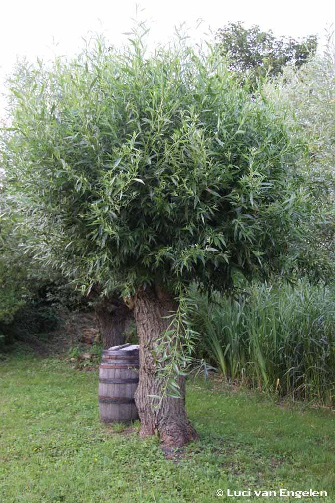 Schietwilg (Salix alba)