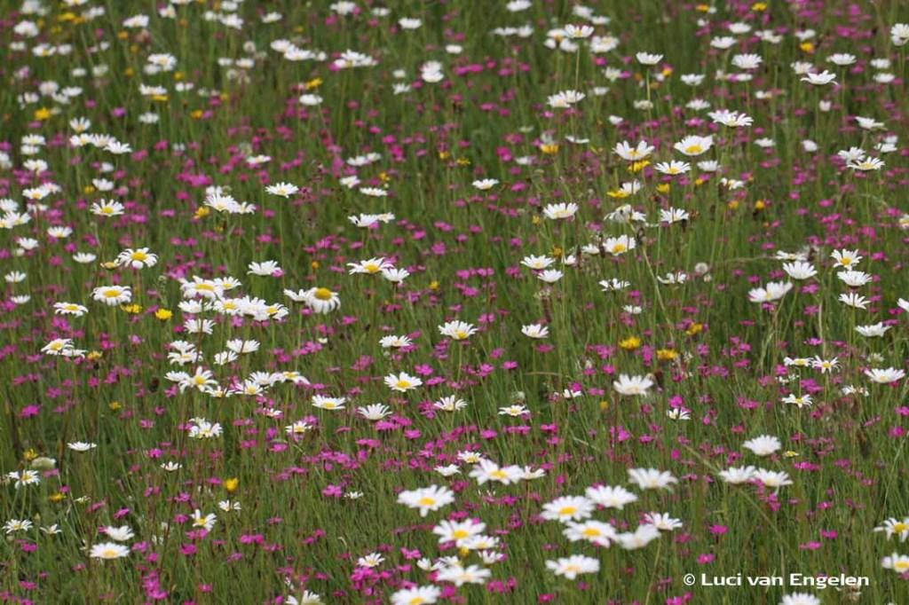 bloemenweide Margriet en Steenanjer