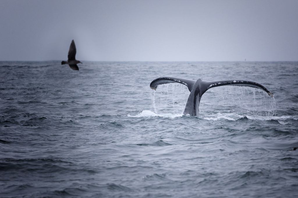 Diving whale tail captured on Oregon Whale Watching trip
