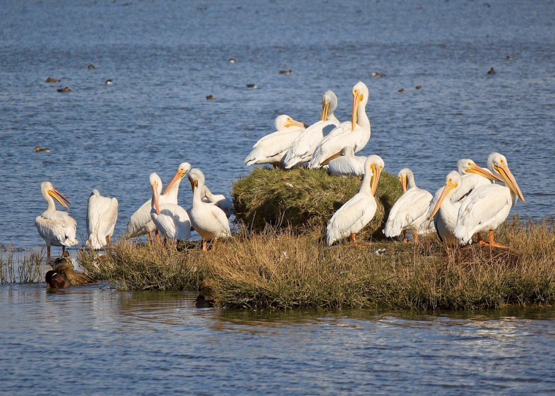 spot pelicans in groups on a small island when you go birding