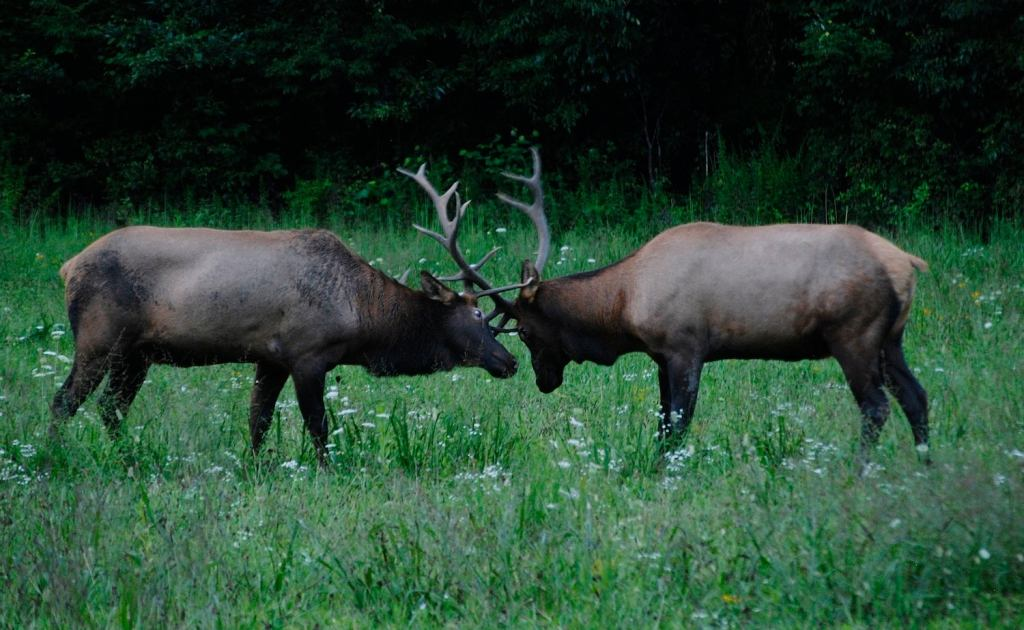 two elk colliding antlers in an open field of grass and wildflowers