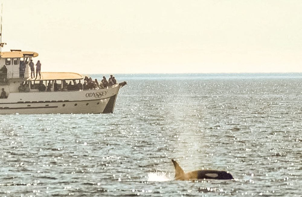 Orca popping its head above water near a Ferry