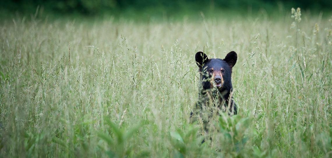 black bear peeks above tall grass in a smoky mountain field