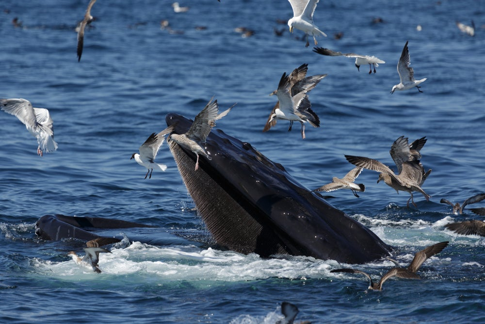 Whale feeding in the ocean with seagulls flying around it.