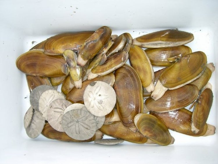 a bucket of razor clams and sand dollars