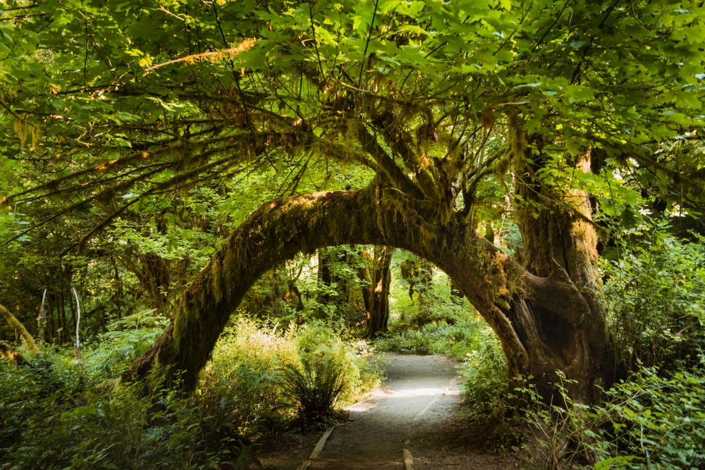 paved path leads under thick tree trunk which completely arches over the patch