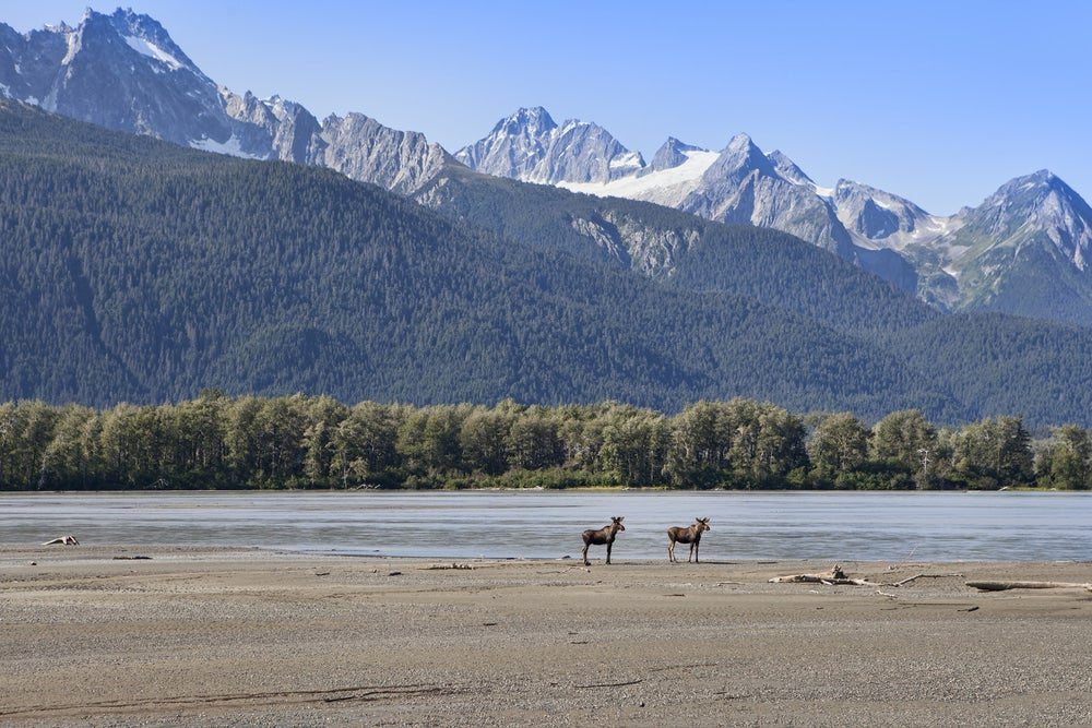 Two moose standing on a beach with large mountains in background