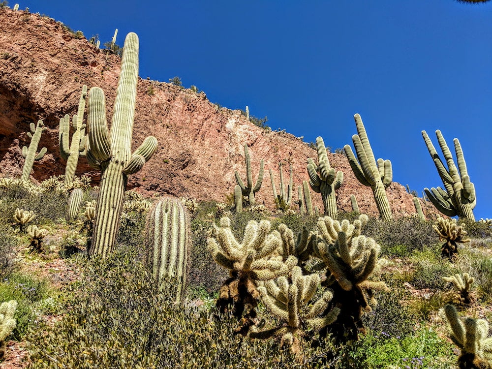 Field of cacti with rock walk in background in Tonto National Forest.