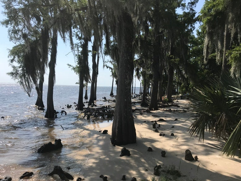 large trees growing out of waterfront sand at Fontainebleau State Park in Louisiana, photo from a camper on The Dyrt