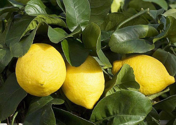 Entretenir Facilement Son Citronnier 4 Saisons