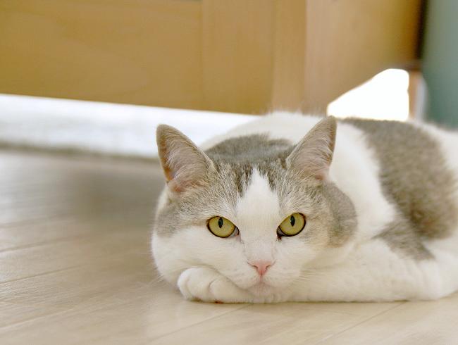 貓の手枕考察 - アメショっす!