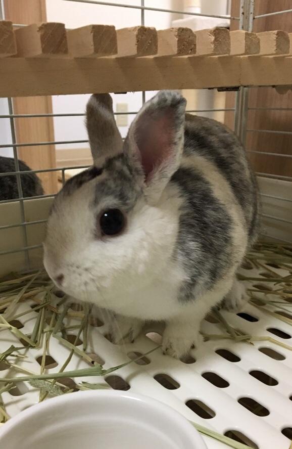 ふて喰いウサギ「おぴょん吉」 - ミニうさぎ「おぴょん吉」の成長日記
