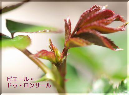 シュガーローズ-ロンサール