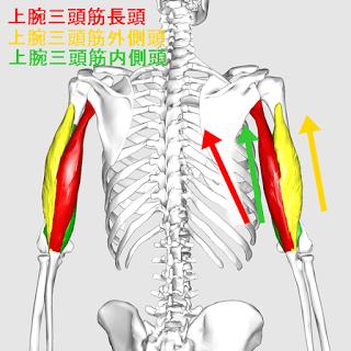 筋 三 頭 トレ 筋肉