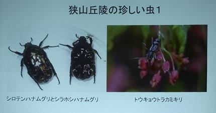 8-1狭山丘陵の珍しい虫