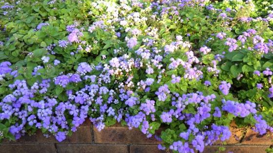 アゲラタム(カッコウアザミ):2018年10月 大泉緑地 ふれあいの庭にて撮影