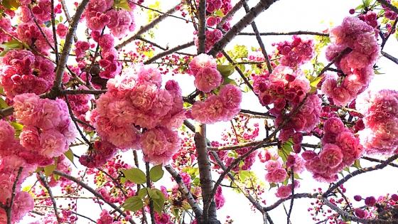 造幣局 桜の通り抜け 2019 Part2 松前紅紫(まつまえべにむらさき)