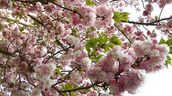 造幣局 桜の通り抜け 2019 Part3 松前琴糸桜(まつまえこといとざくら)