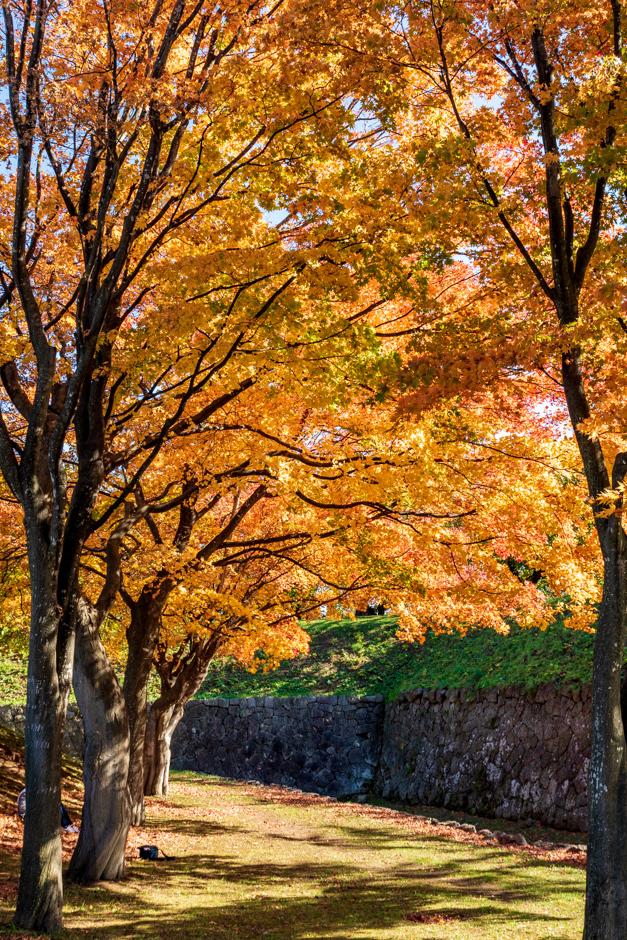 紅葉 真っ盛り【五稜郭公園】 - 五稜郭公園周辺