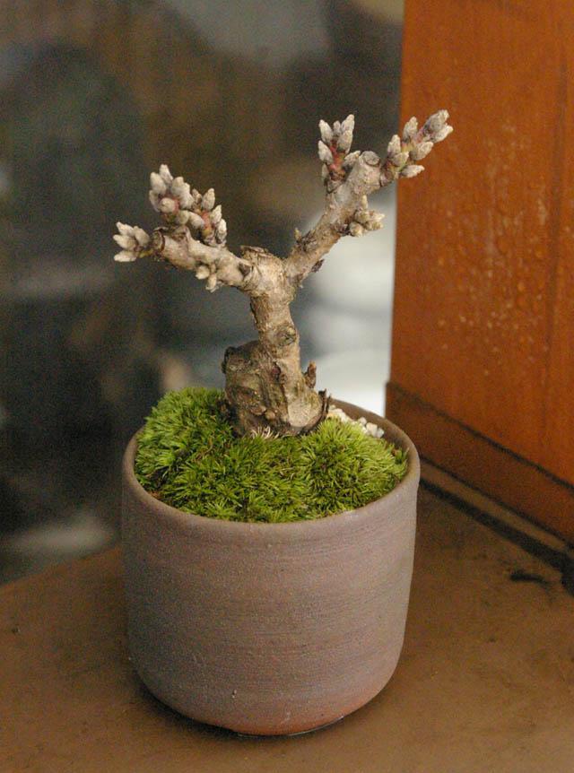 にこブログ 新しい盆栽・苔盆栽の作品アップしました