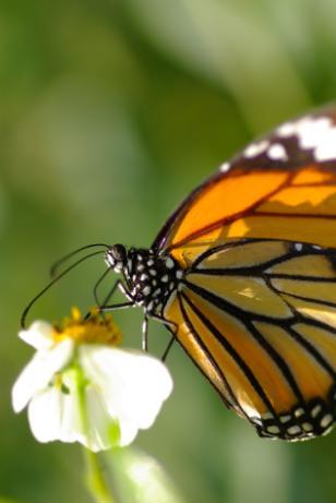ねこじゃらし:蝶。