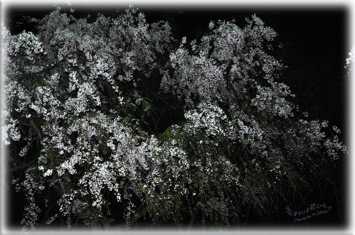 枝垂れ桜・・・夜景 - 念ずれば花ひらく