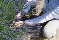 lavender farm 070510-11