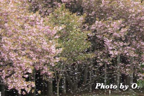 石崎地主海神社 桜吹雪