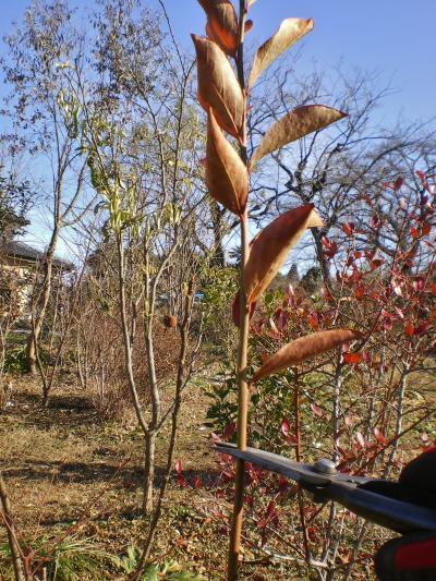 HAYAKAWA Garden&Farm ブルーベリーの剪定をしました!