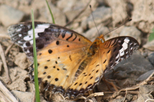 [未掲載分] オレンジ色の蝶 - Vitalabolove 店長の雑記帳
