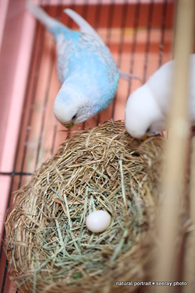インコの孵化