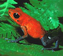 畫像 : ~色鮮やかな世界の毒カエル~ - NAVER まとめ