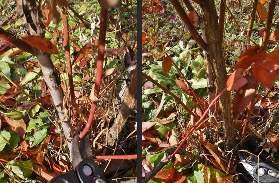 HAYAKAWA Garden&Farm ブルーベリーの剪定とマルチングをしました!
