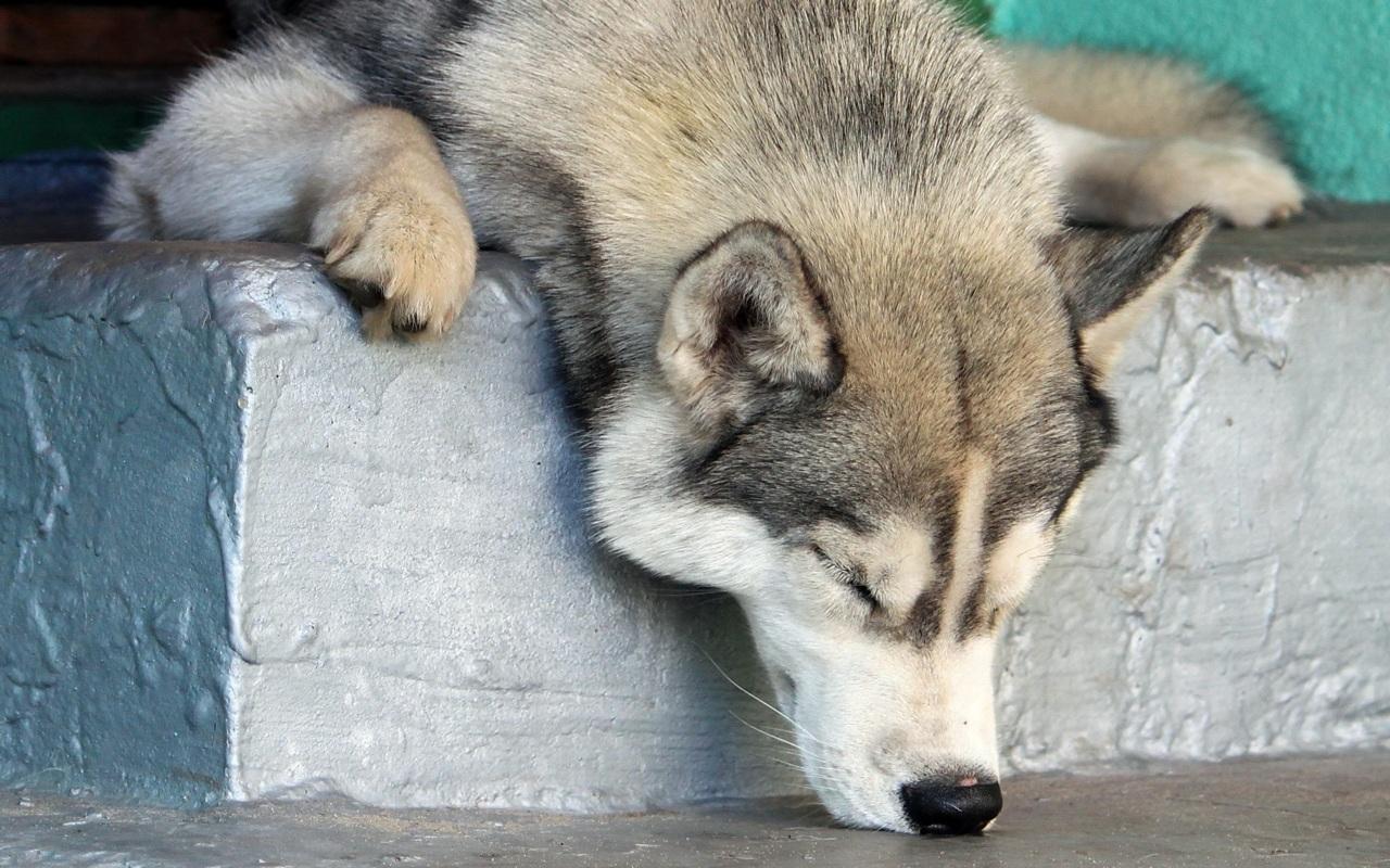 Cute Cat And Dog Wallpaper Hd 【わんこ】シベリアン・ハスキー!|きゃわわタイムス 画像に直接コメント!かわいいアニマル写真の集まる動物園♪
