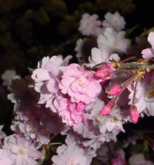 「あるがままに生きる」-夜桜