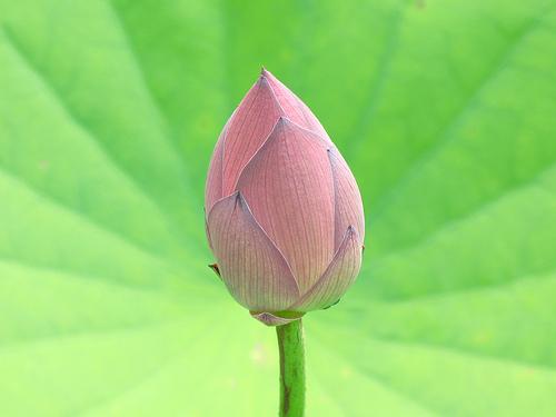 Lotus / Nelumbo / 蓮(ハス) - 無料写真検索fotoq