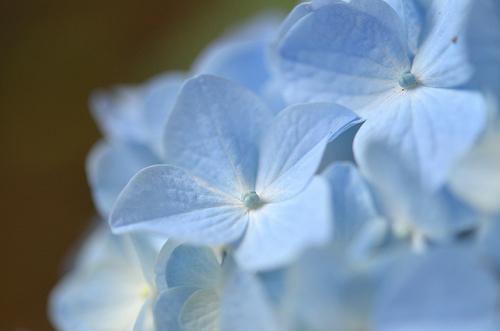 あじさい : Hydrangea - 無料写真検索fotoq