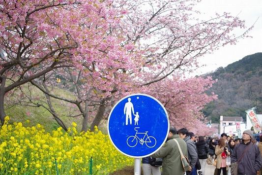 河津桜まつり 3