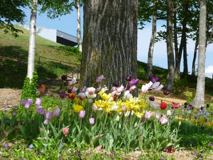 北海道の真ん中辺を紹介するブログ 大雪森のガーデンの開花狀況