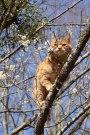 里親さんブログ.梅の木の茶トラ
