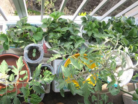 四季なりイチゴのめちゃウマ。ゴミ箱容器で水耕栽培。